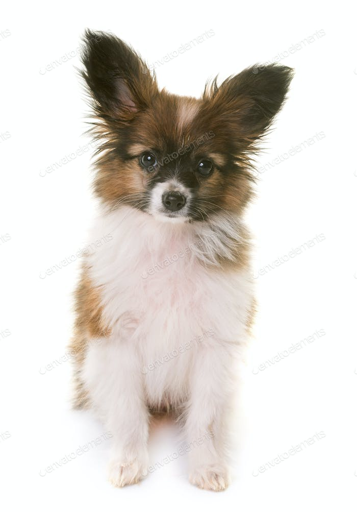 puppy pappillon dog