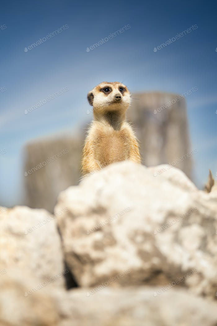 Meerkat peeking behind rock