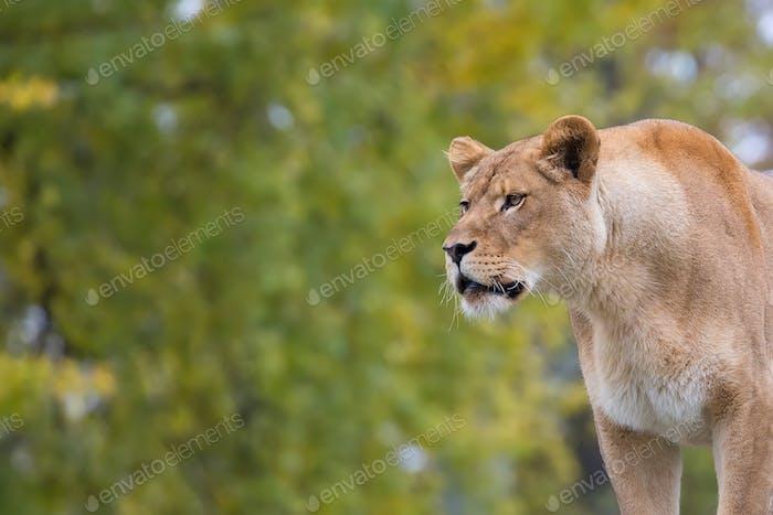 Lioness, a portrait