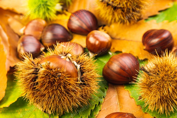 Ripe chestnuts close up. Raw Chestnuts for Christmas Autumn time