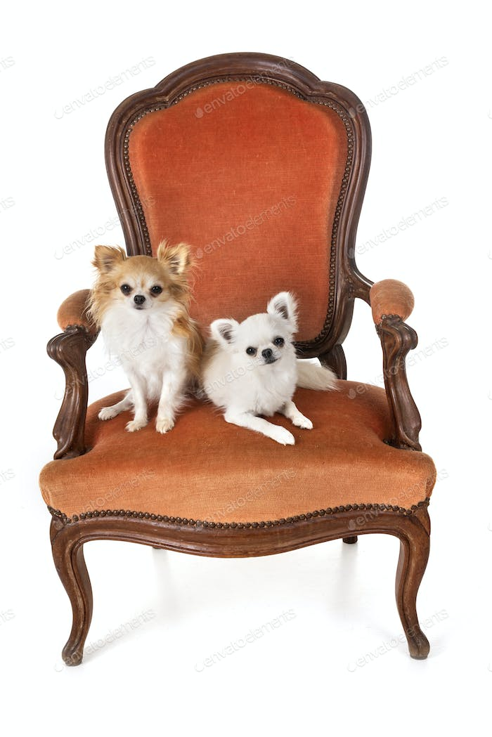 chihuahuas on armchair
