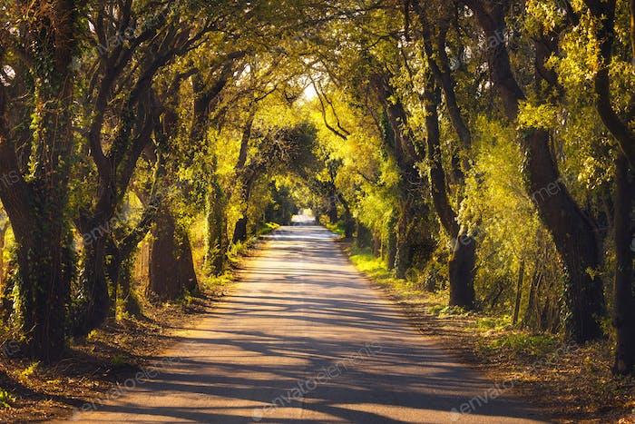 Autumn or fall, tree straight road on sunset. Maremma, Tuscany,