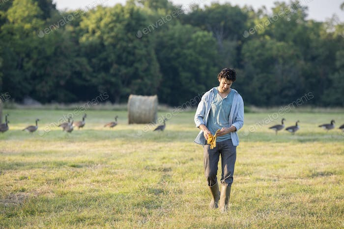A man walking across a field, away from a flock of geese outdoors in the fresh air.