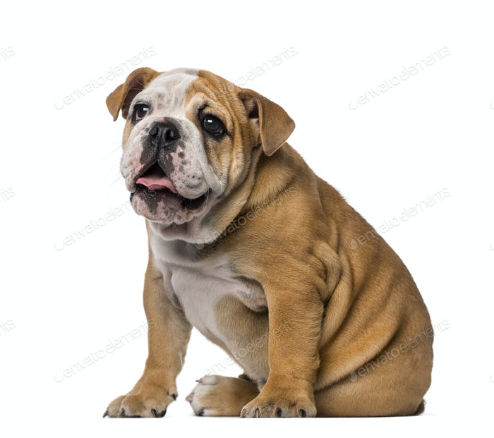 English Bulldog puppy (4 months old)