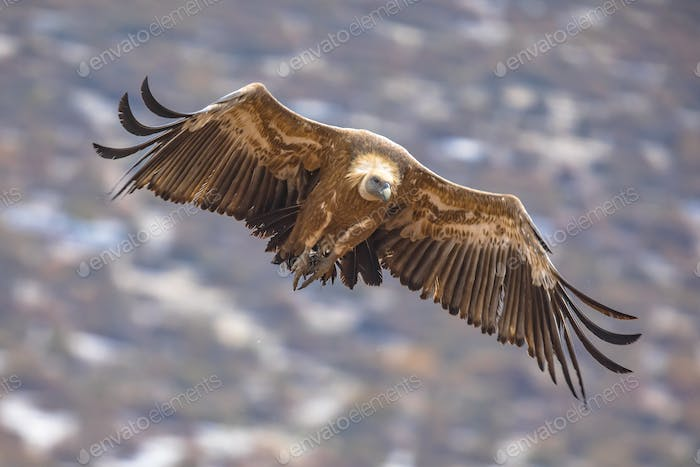 Griffon vulture flying in mist