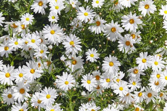 Daisy flowers detail in the garden. Sunny day. Springtime background