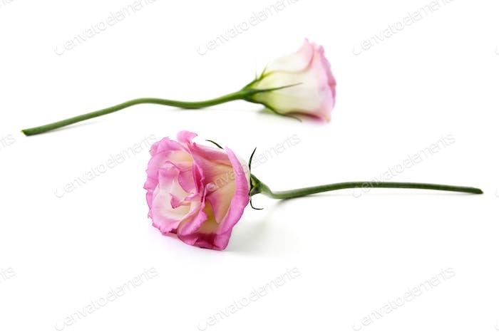 Zwei Schnittblumen eines rosa Eustoma auf einem sauberen weißen Hintergrund.