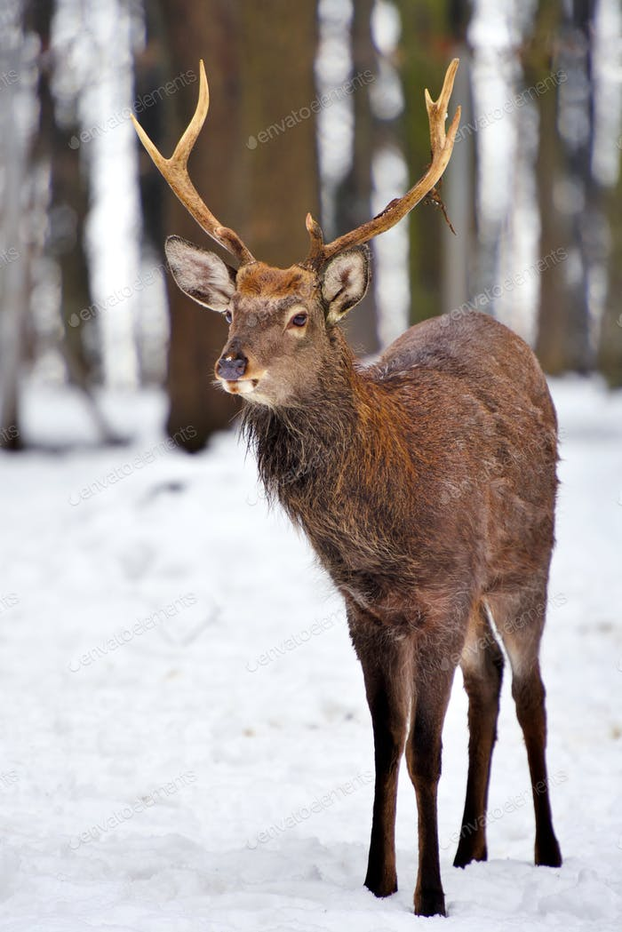 Young male red deer in winter forest