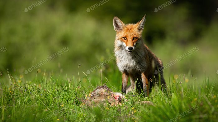 Red fox standing next to dead roe on meadow in sunshine