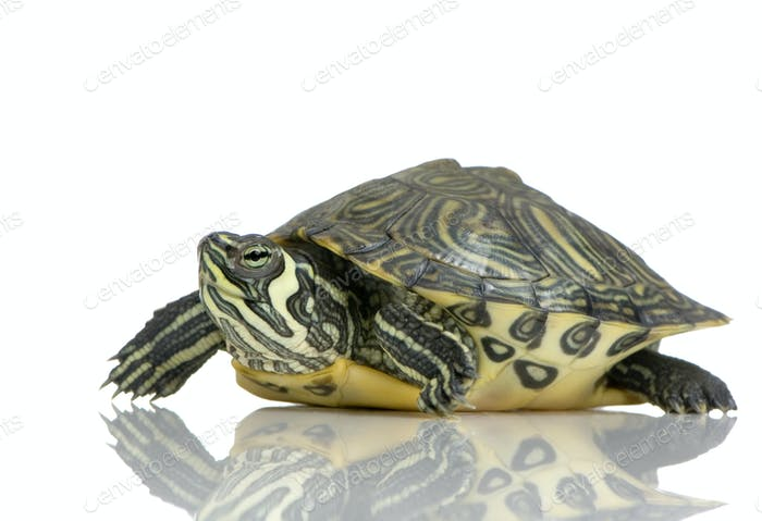 Schildkröte - Acanthochelys