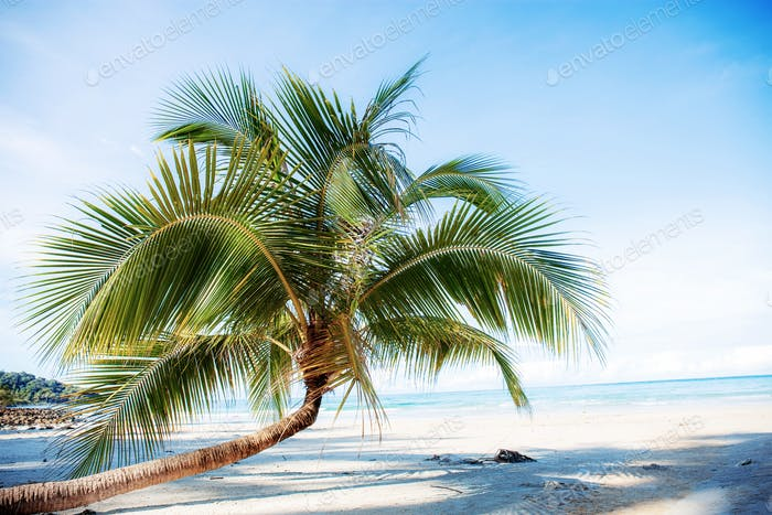 Coconut tree on sand beach
