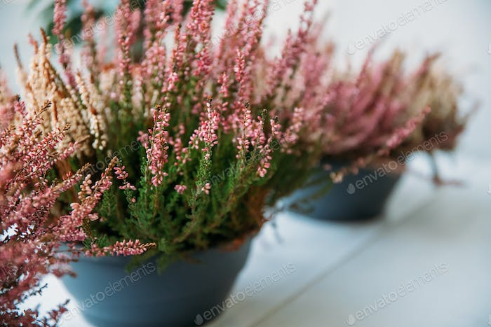 Calluna Plant With Pink Flower In Pot In Store Market