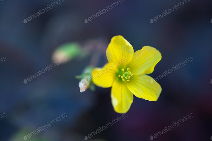 little yellow flowers oxalis, macro