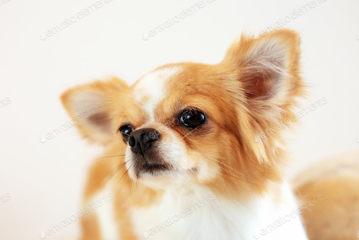 Dog with a white background