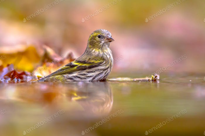 Eurasian siskin washing