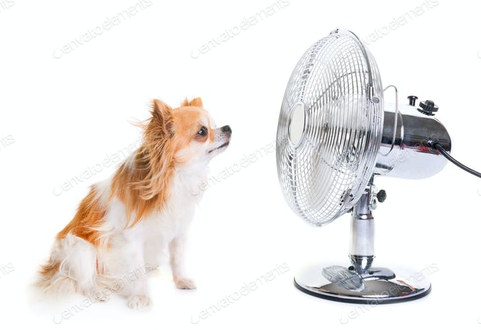 chihuahua and fan