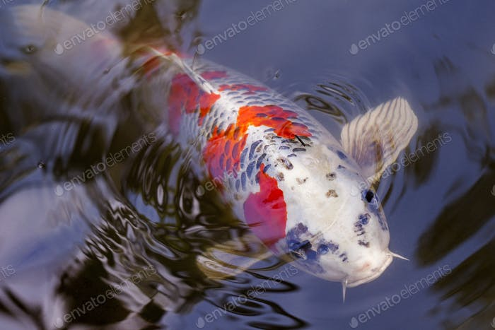 Exotic Koi fish carp swimming in pond