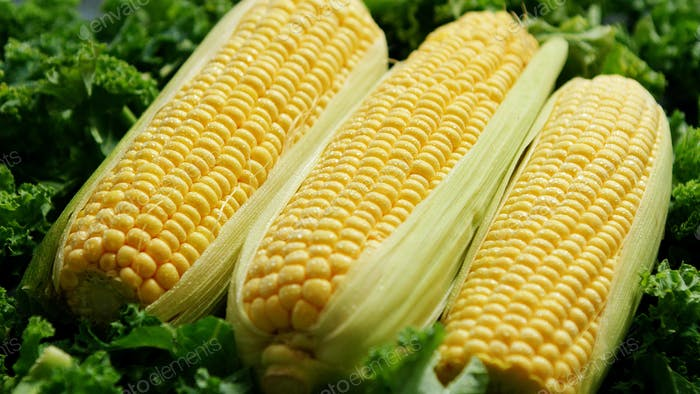 Uncooked fresh corncobs on green