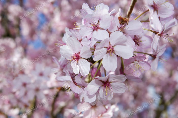 Cherry blossoms on a tree.