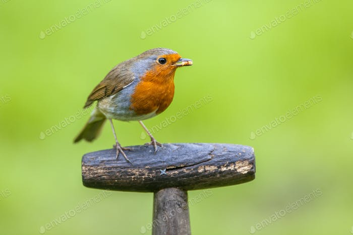 Robin perched on a shovel grip