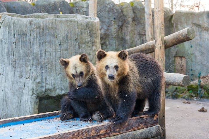 Schöner Bär im Zoopark