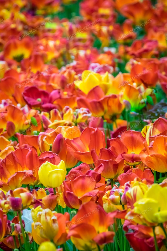 Field of red, orange and yellow tulips