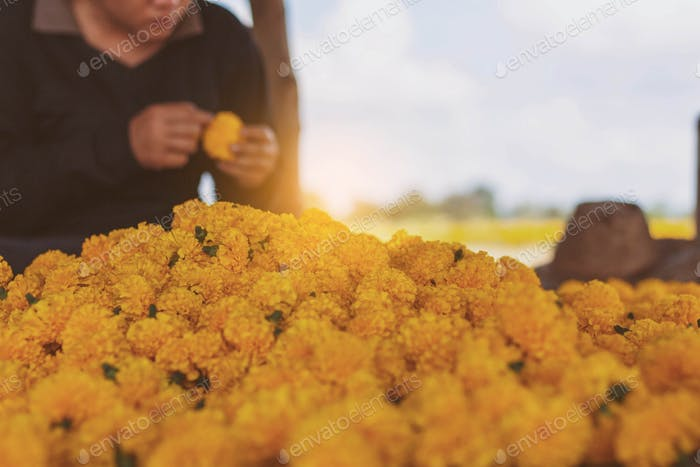 Women are choosing marigolds