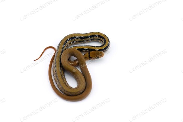 Serpiente de cobre con cabeza de baratija aislada sobre Fondo blanco