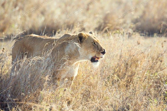 Injured lion in the Serengeti
