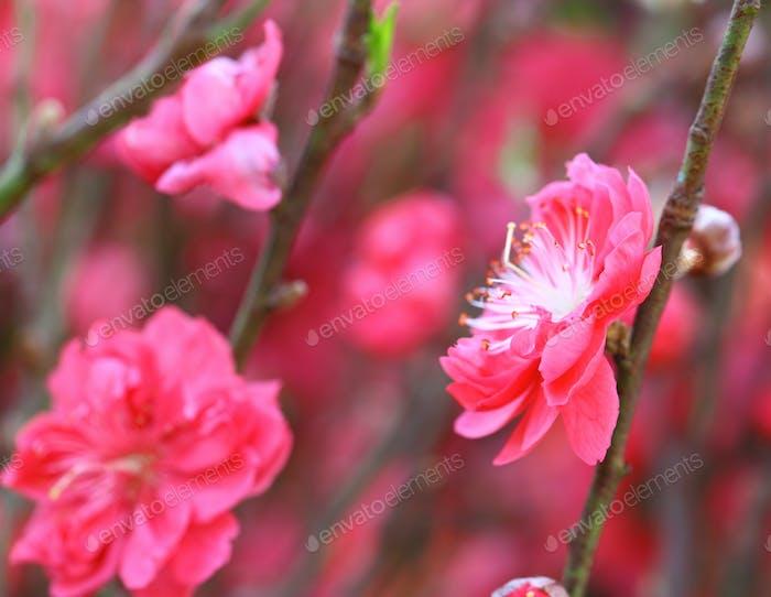 Pfirsichblüte Blume