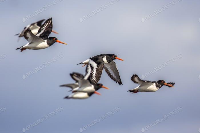 Group of flying Eurasian oystercatcher