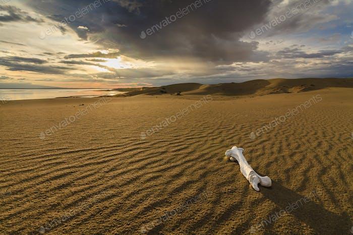 Weißer Knochen auf dem Sand in der Wüste Gobi. Mongolei.