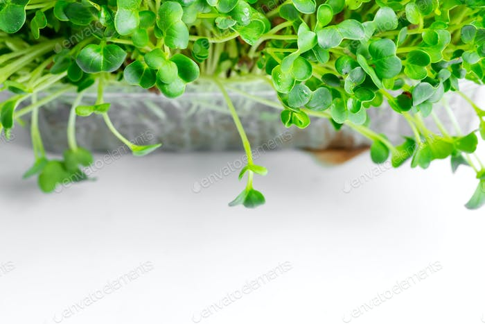 Growing organic microgreen in a transparent box on a light grey marble background. Top view
