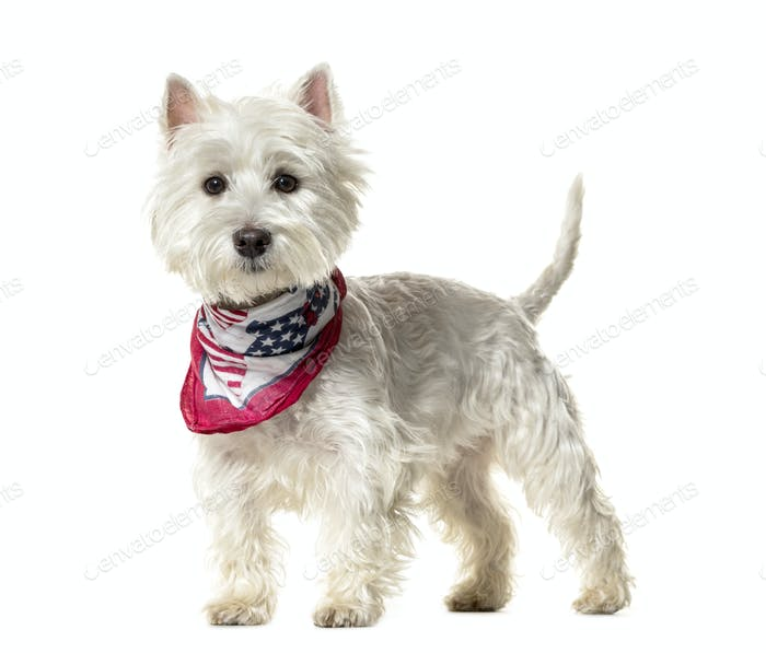 Standing Westie Dog, cut out