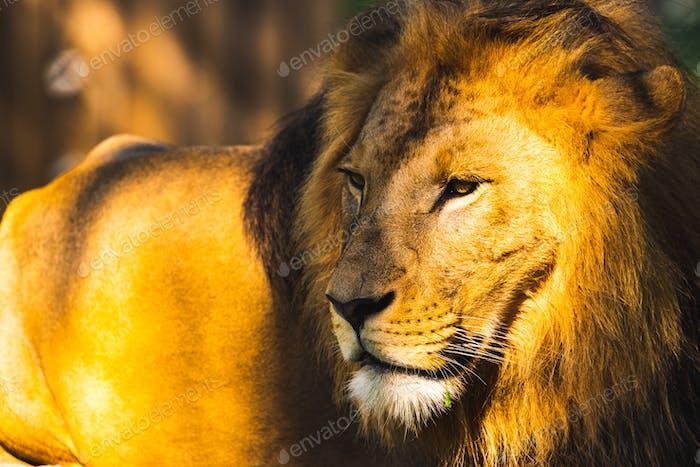 Lion male in zoo Austria Styria Herberstein tourist destination autumn time