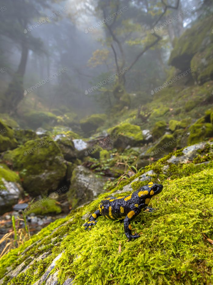 Fire salamander in forest landscape