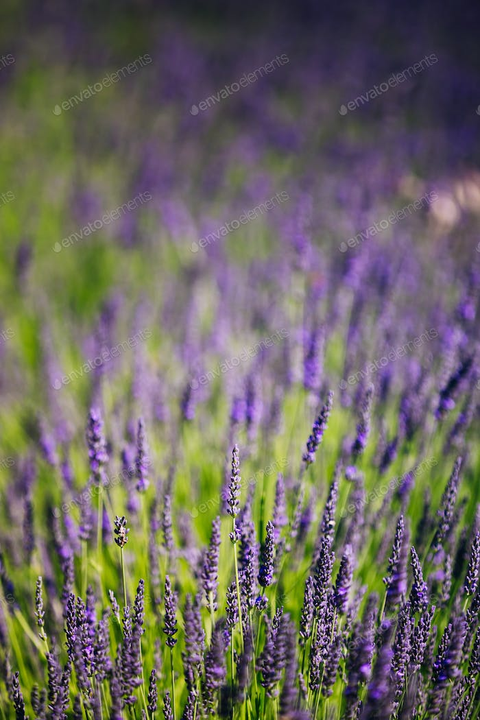 Lavender Flowers. Summer season. Close up. Background