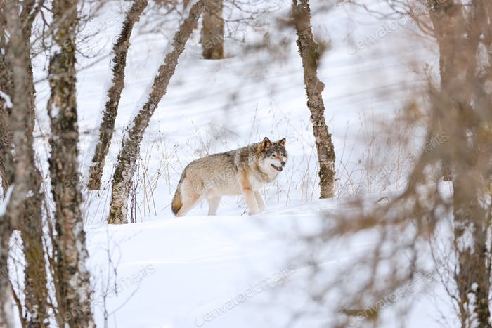 Canis Lupus walking amidst bare trees on snow