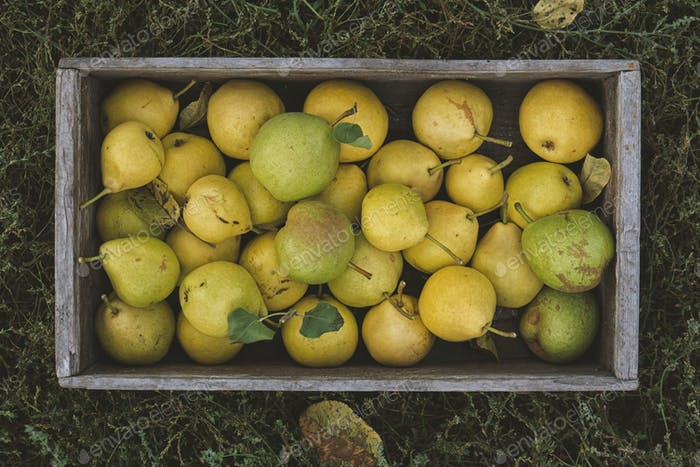 Yellow ripe pears in a box on the grass. Harvest season
