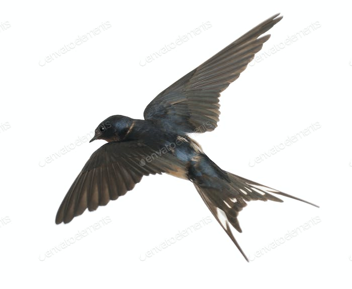 Barn Swallow, Hirundo rustica, lying against white background