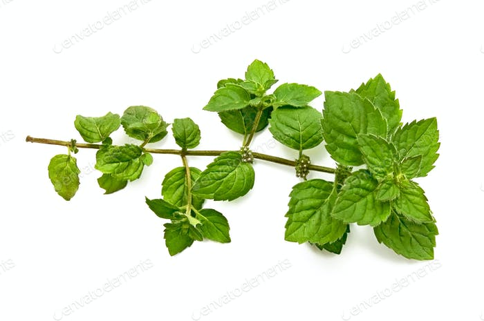 A green sprig of mint
