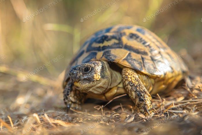 Hermann's tortoise (Testudo hermanni) are small to medium-sized