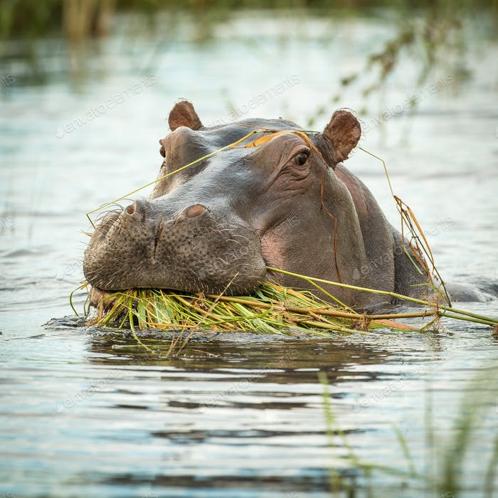 Hippopotamus amphibius. Wild animal in the nature habitat. Afric