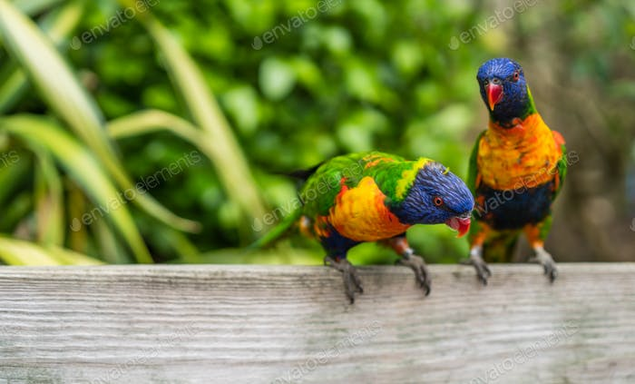 Two Colourful parrot Rainbow