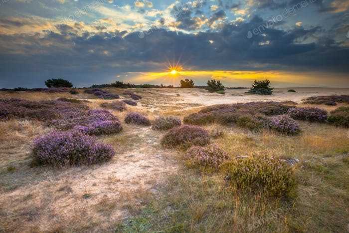 Veluwe Sunset over heathland with Heath