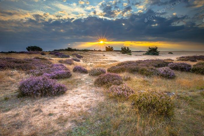 Veluwe Sonnenuntergang über Heide mit Heide