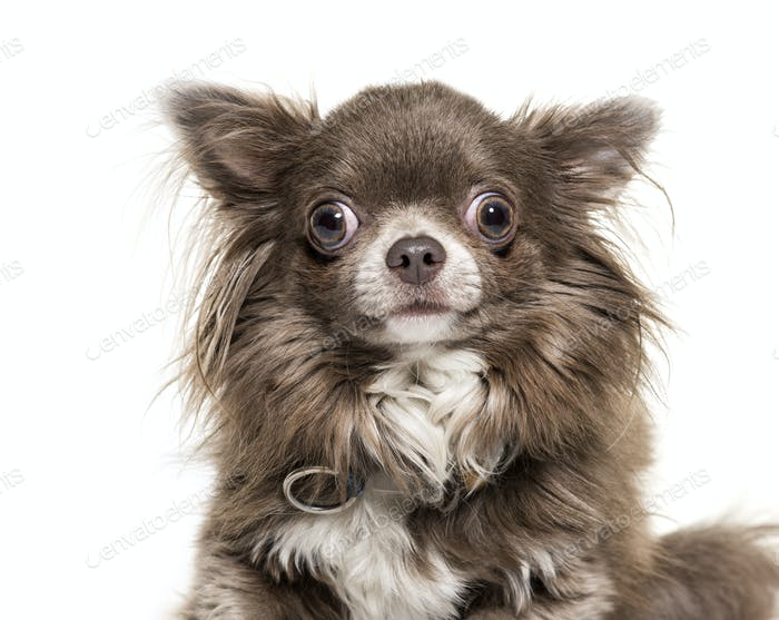 Close-up of a Chihuahua dog, isolated on white
