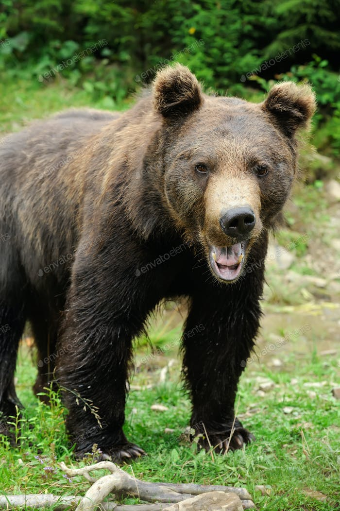 Brown bear (Ursus arctos) in nature