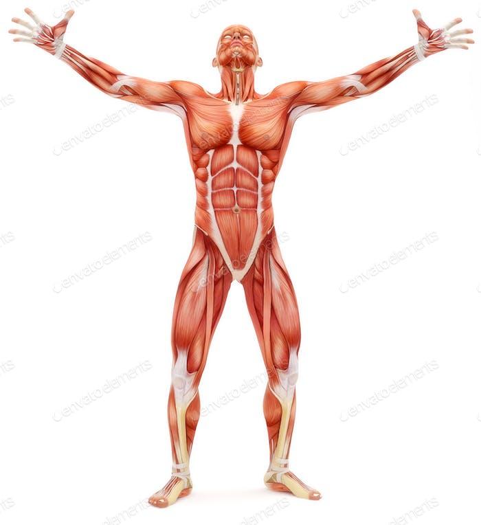 Männlicher Bewegungsapparat nach oben