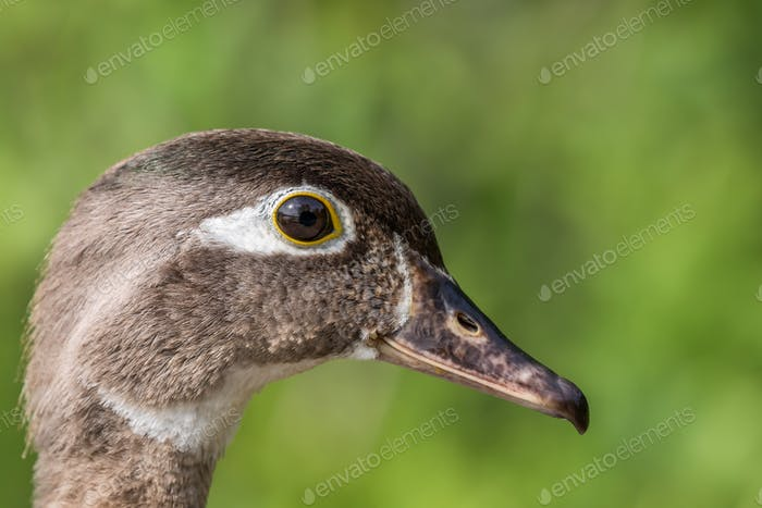 Wood Duck - Aix sponsa, side profile closeup of a female.